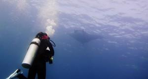 Diving Manta