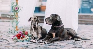 Pet dogs of the bride and groom at the wedding.
